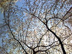 夢見ヶ崎動物園の桜
