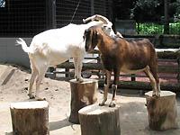 夢見が崎動物園のヤギ