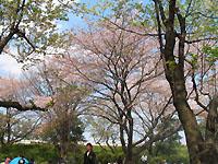 2007桜